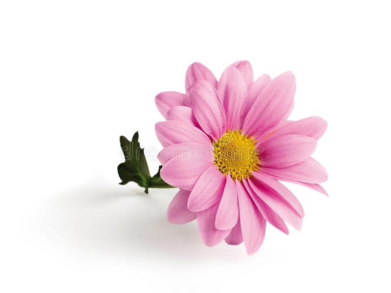 Crisântemo cor-de-rosa em um ramo foto de stock royalty free