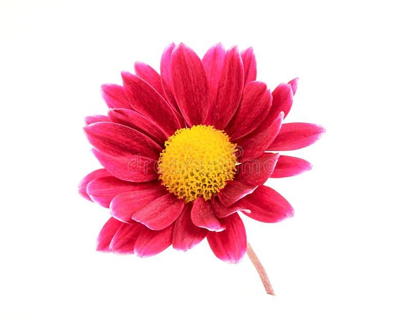 Crisântemo cor-de-rosa na haste. fotografia de stock
