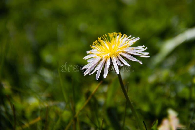 Crisântemo selvagem, grama, flor imagens de stock royalty free