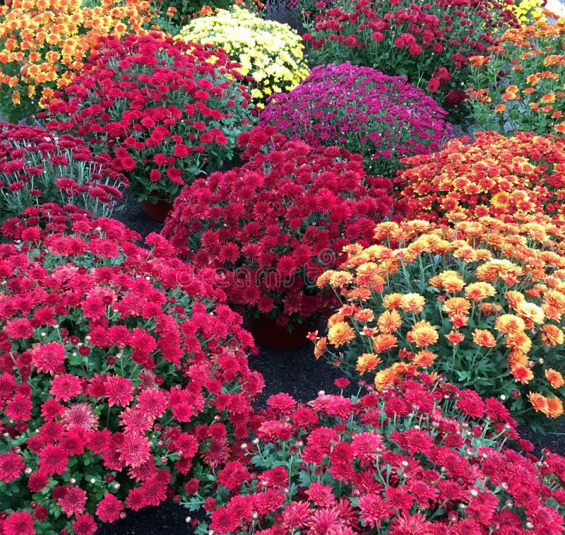 Crisântemo vermelho, amarelo, alaranjado, roxo colorido dos Mums para a queda fotos de stock royalty free