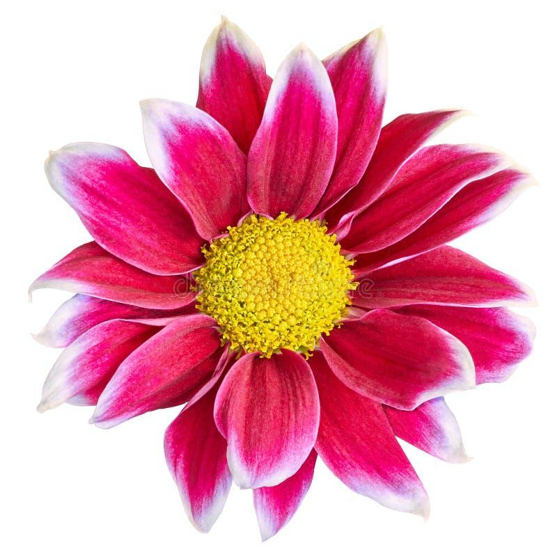 Crisântemo vermelho-branco da flor interna com o centro amarelo, isolado no fundo branco Close-up Elemento do projeto imagem de stock