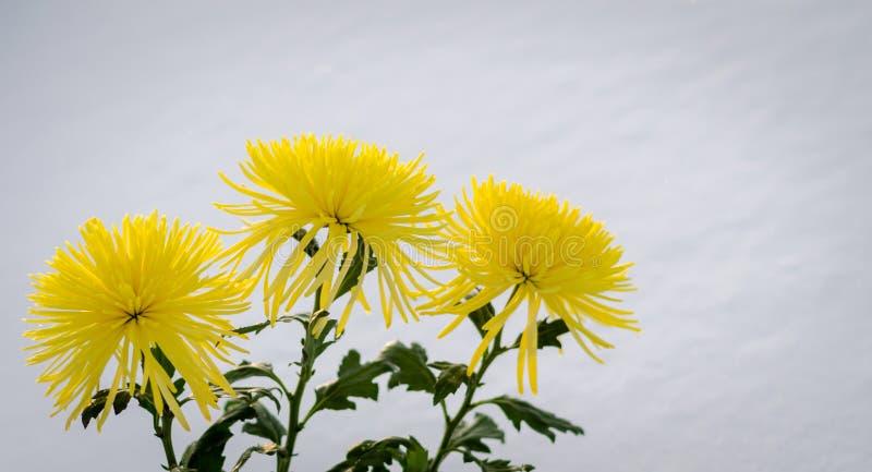 Crisântemos amarelos na neve imagem de stock royalty free