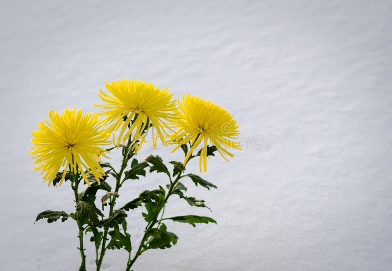 Crisântemos amarelos na neve fotografia de stock royalty free