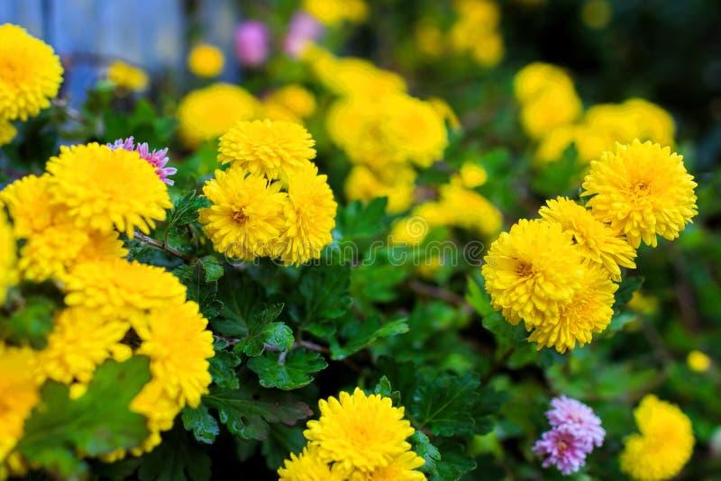 Crisântemos amarelos no jardim imagem de stock royalty free