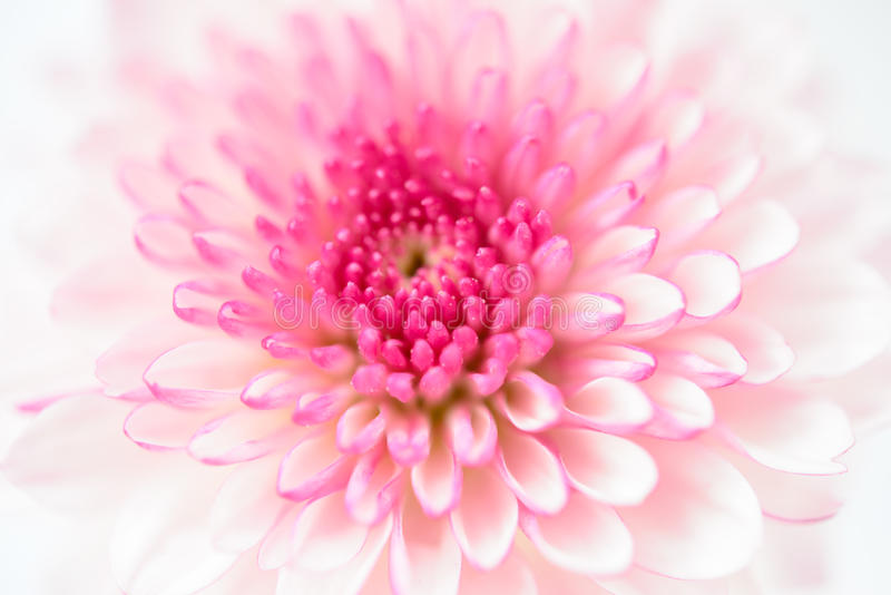 Crisântemos cor-de-rosa imagem de stock