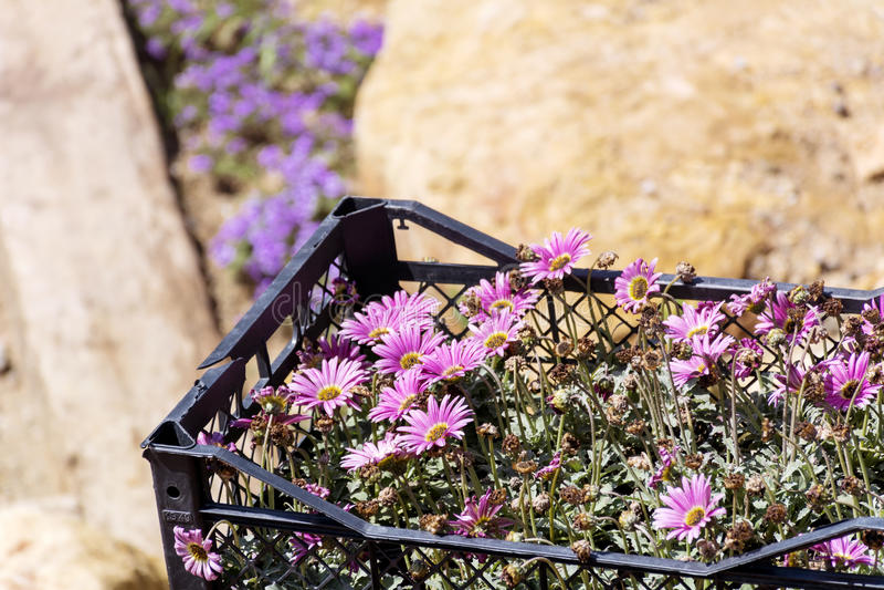 Crisântemos cor-de-rosa bonitos na cesta para plantar foto de stock royalty free