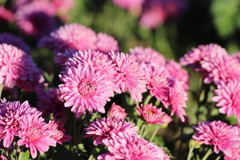 Crisântemos cor-de-rosa bonitos no jardim imagens de stock royalty free