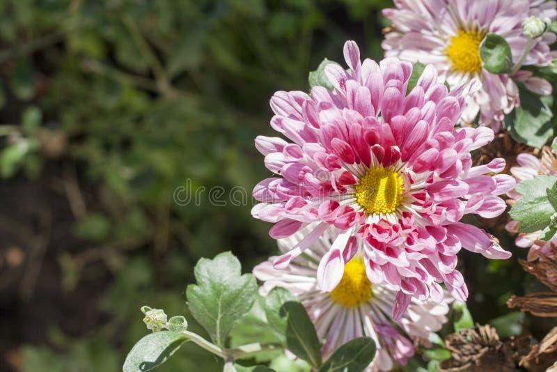 Crisântemos roxos Fundo bonito de flores outonais frescas em um fundo roxo foto de stock