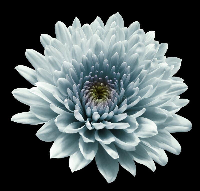 Cris?ntemo da flor de turquesa fundo isolado preto com trajeto de grampeamento Close up nenhumas sombras Para o projeto imagem de stock royalty free