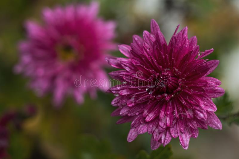 Cris?ntemo violeta cor-de-rosa bonito no jardim imagens de stock royalty free