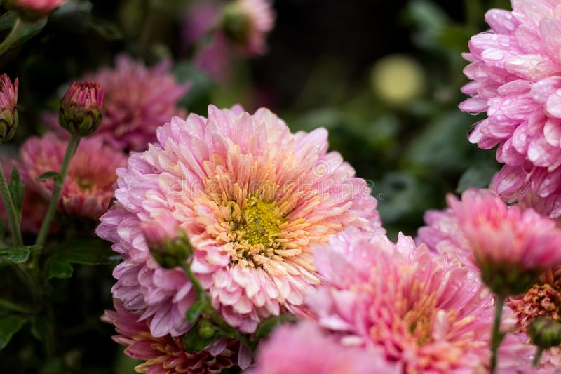 Cris?ntemo violeta cor-de-rosa bonito no jardim imagens de stock