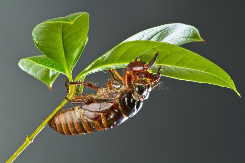 Crisalide della cicala immagine stock