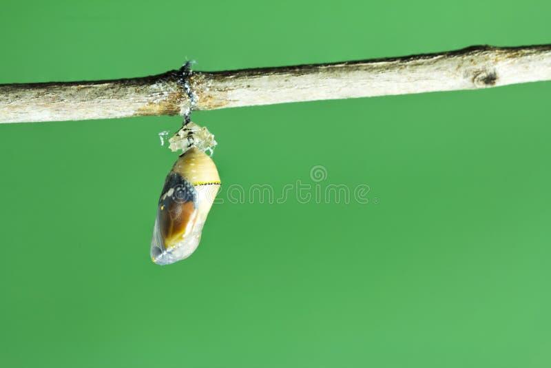 Crisalide della farfalla di monarca immagine stock libera da diritti