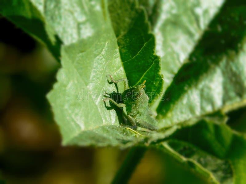 Crisalide della locusta cammuffata su una foglia verde fotografia stock
