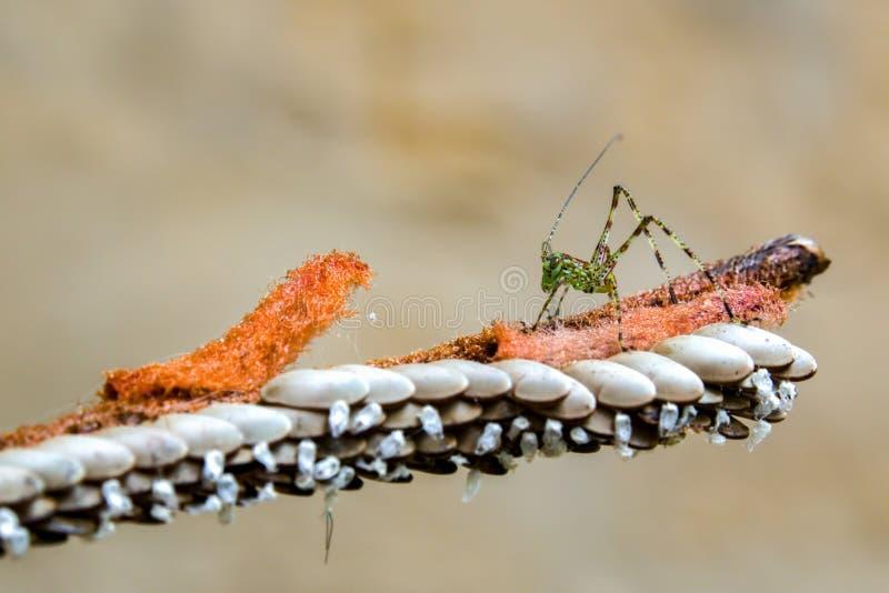 Crisalide a strisce verde del katydid vicino ad alcune uova del grasshoper immagini stock