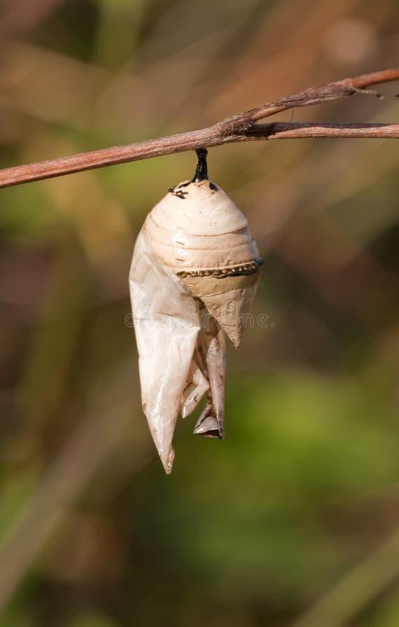 Crisalidi dell'insetto fotografie stock