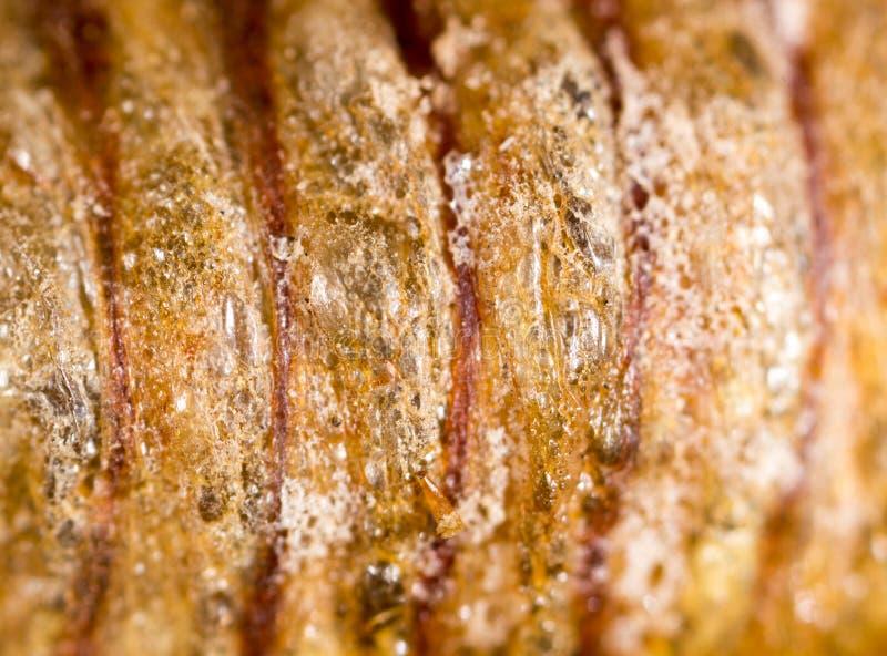 Crisalidi dell'insetto come fondo Macro fotografie stock libere da diritti