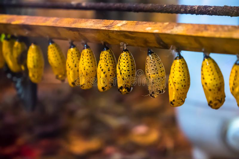 Crisalidi di carta della farfalla dell'aquilone vita aspettante di permesso su nuova fotografia stock