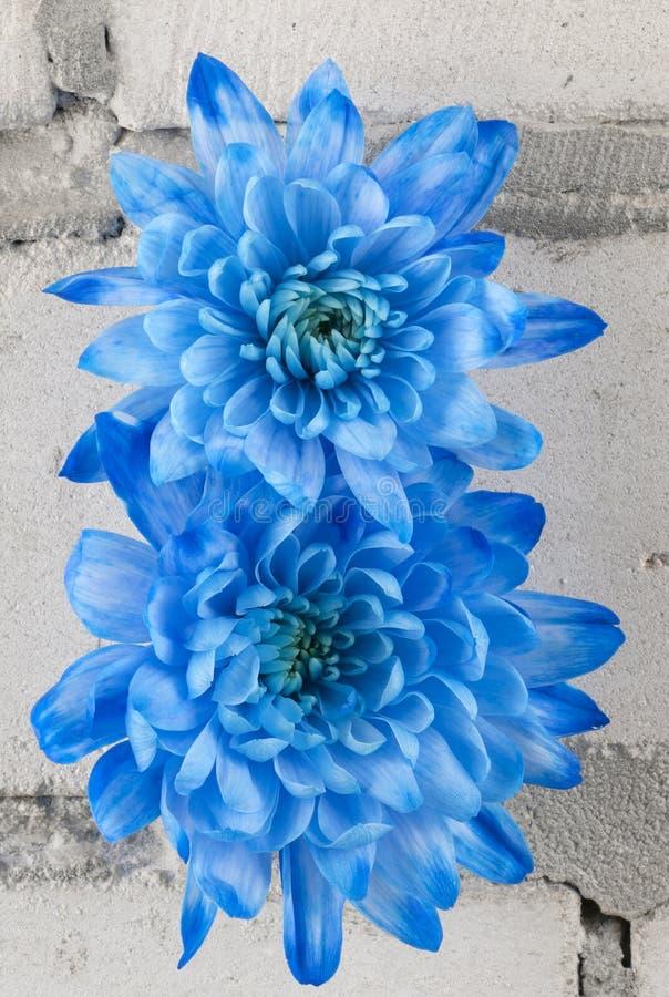 Crisantemi blu sopra il muro di mattoni grigio immagini stock