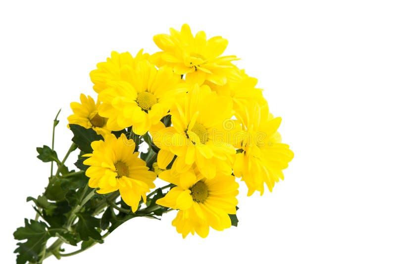 Crisantemi gialli fotografia stock libera da diritti