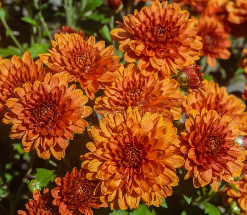 Crisantemi gialli del mazzo grandi e rossi sulla via fotografia stock