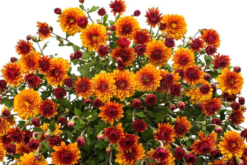 Crisantemi giallo arancione immagini stock