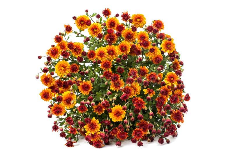 Crisantemi giallo arancione fotografia stock