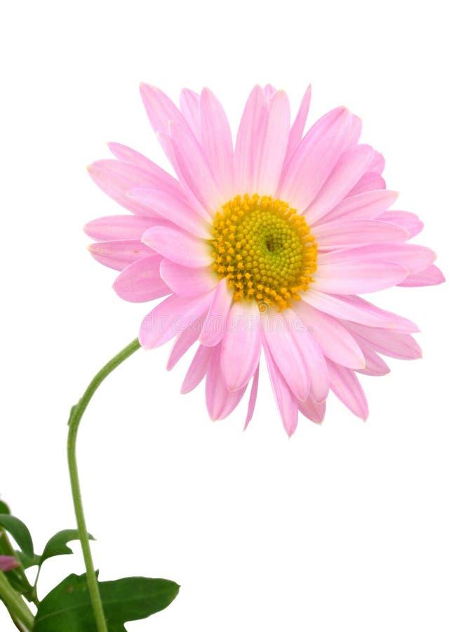 Crisantemi su bianco fotografia stock