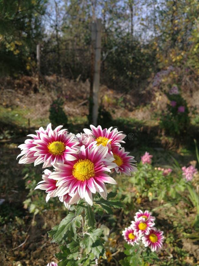 Crisantemo foto de archivo libre de regalías