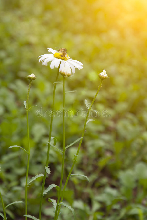 Download Crisantemo imagen de archivo. Imagen de otoño, jardín - 42440459