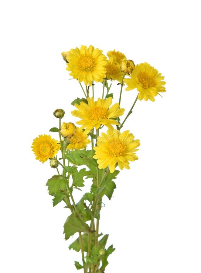 Crisantemo aislado en un fondo blanco imágenes de archivo libres de regalías