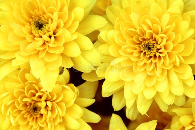 Crisantemo amarillo foto de archivo libre de regalías