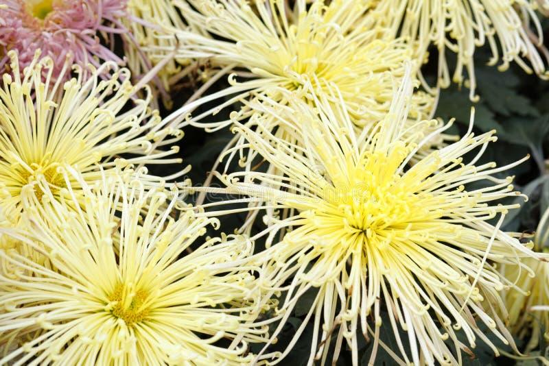 Crisantemo amarillo de los pétalos del filamento, adobe rgb fotos de archivo