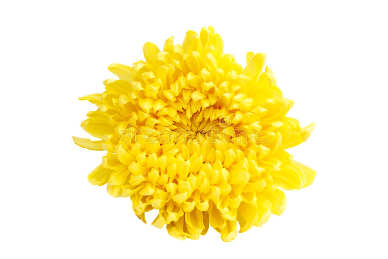 Crisantemo amarillo del color foto de archivo