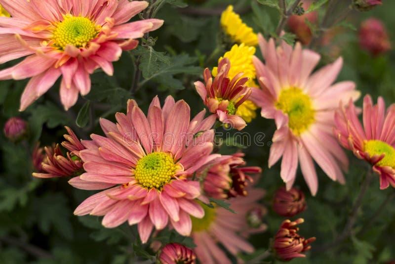 Crisantemo amarillo y rosado hermoso como floración de la manzanilla imagenes de archivo