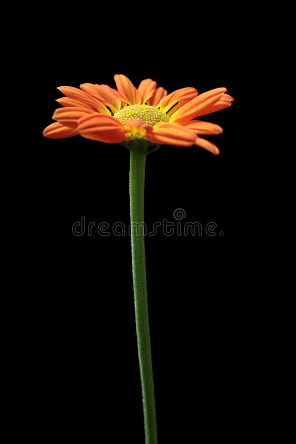 Crisantemo anaranjado y amarillo foto de archivo libre de regalías