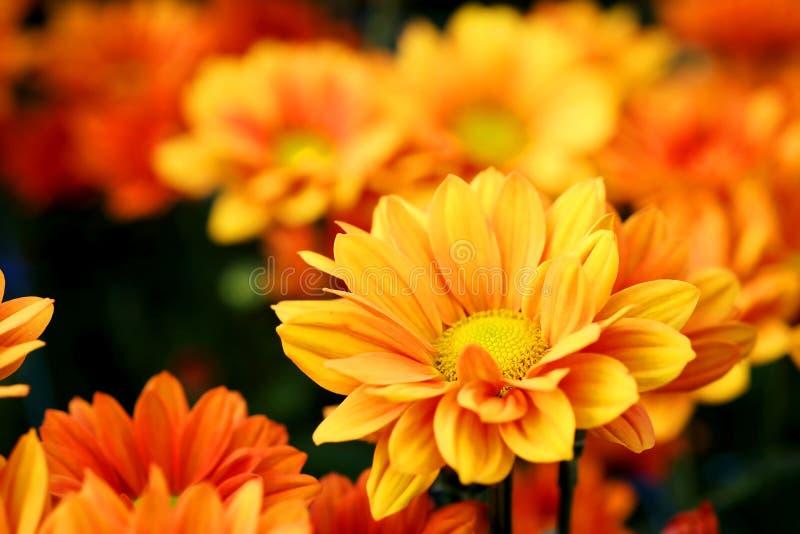 Crisantemo arancio vivo nel fondo di agricoltura del giardino floreale fotografia stock