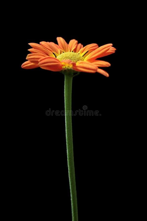 Crisantemo arancione e giallo fotografia stock libera da diritti
