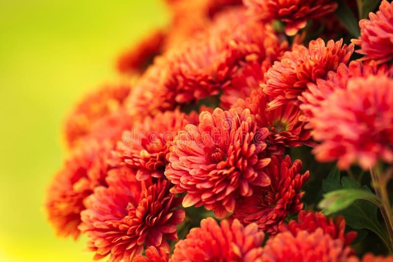 Crisantemo autunnale variopinto fotografia stock libera da diritti