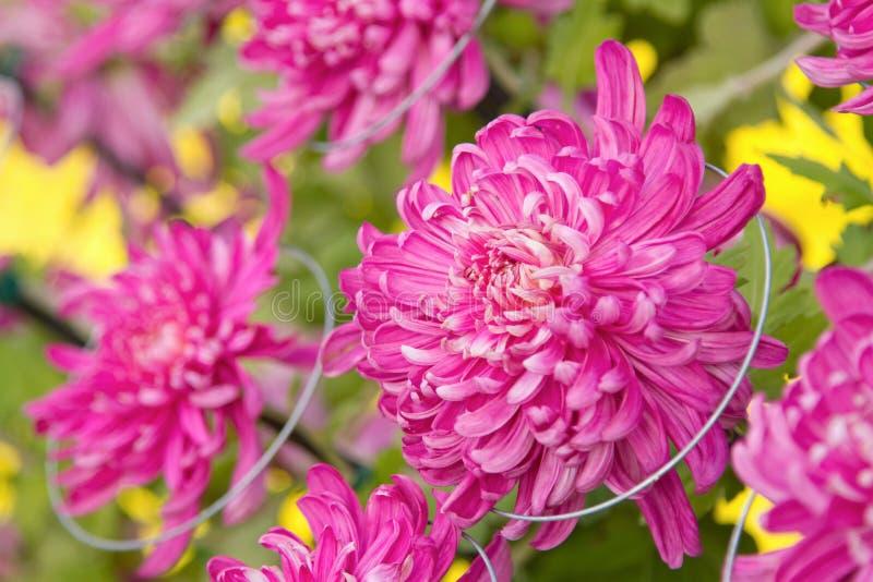Crisantemo autunnale viola variopinto fotografia stock libera da diritti