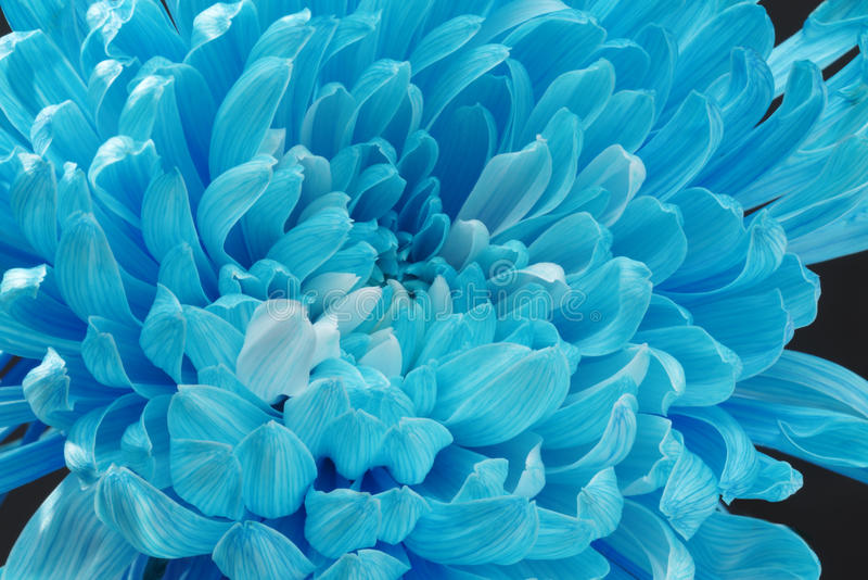 Crisantemo azul foto de archivo
