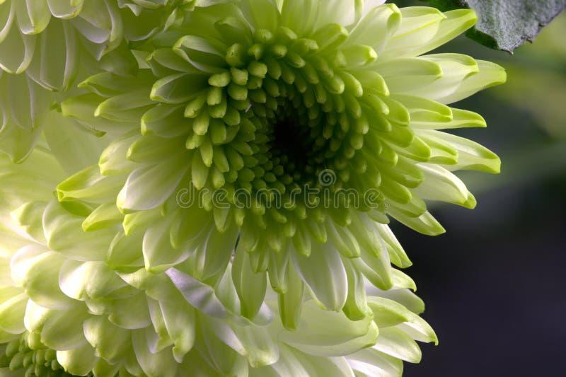 Crisantemo bianco fotografie stock
