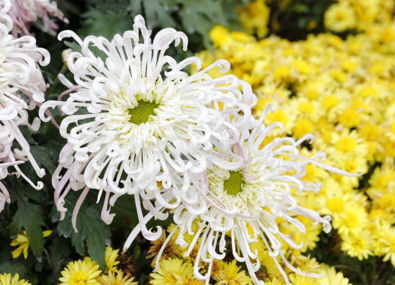 Crisantemo bianco, adobe rgb immagine stock libera da diritti