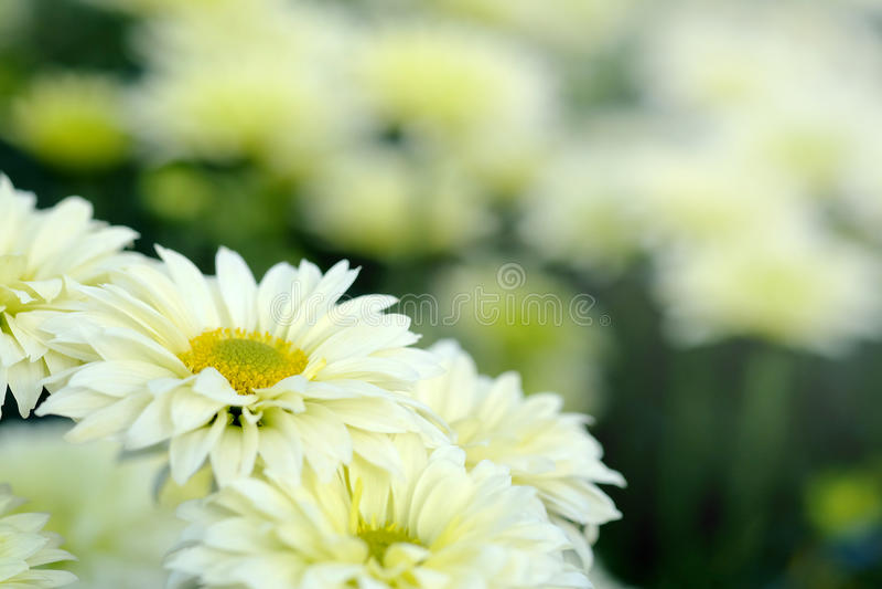 Crisantemo bianco nel fondo di agricoltura del giardino floreale con il fuoco molle immagini stock libere da diritti