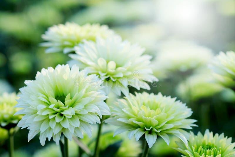 Crisantemo bianco nel fondo di agricoltura del giardino floreale con il fuoco molle fotografia stock