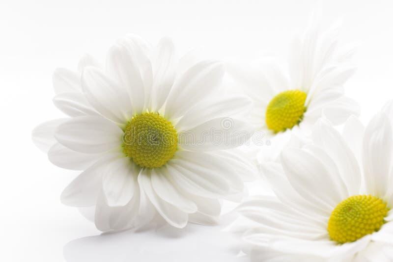 Crisantemo blanco. imagenes de archivo
