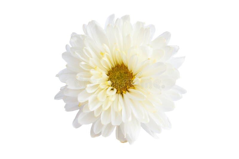 Crisantemo blanco del color foto de archivo libre de regalías