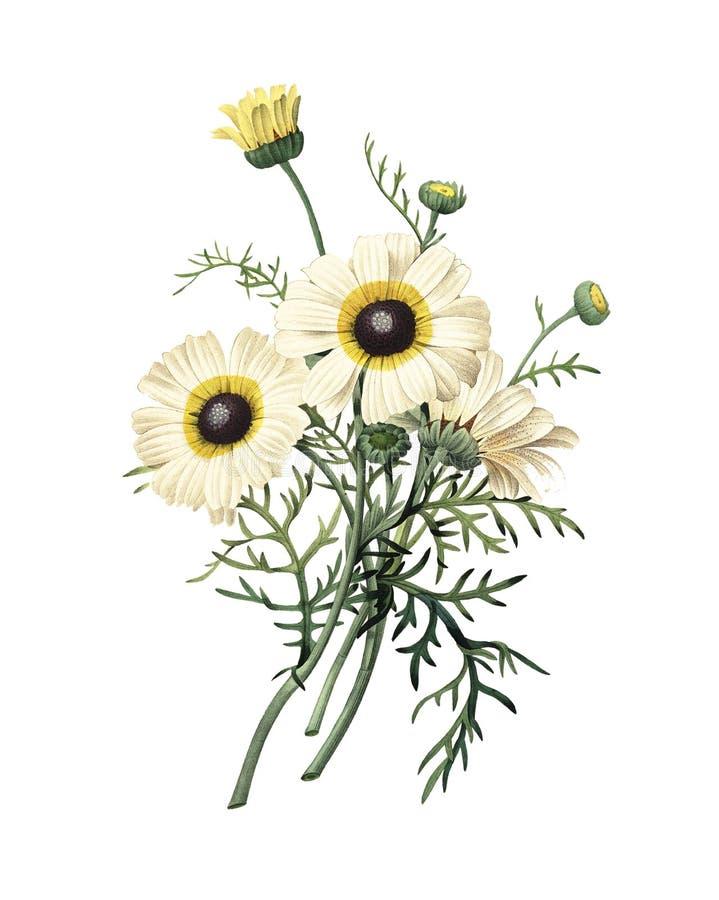 Crisantemo carenato | Illustrazioni del fiore di Redoute illustrazione di stock