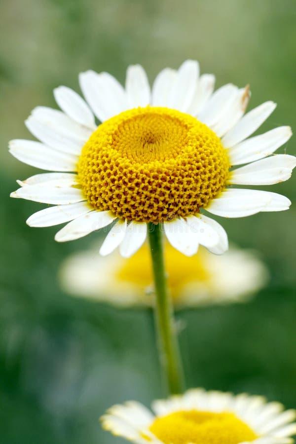 Crisantemo Con Bianco Giallo Fotografia Stock Libera da Diritti