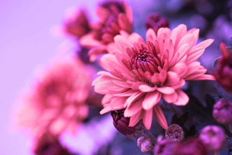 Crisantemo d'autunno variopinto immagini stock libere da diritti